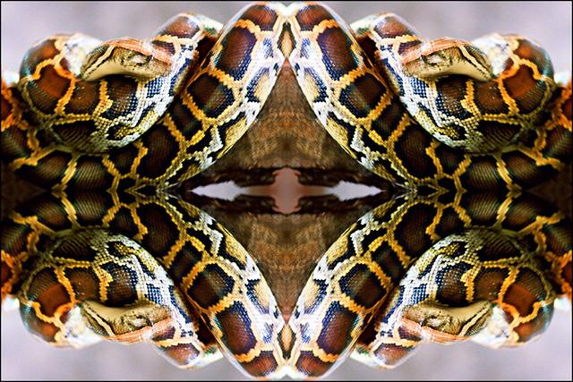 Kolazi 455    --- zmija 01