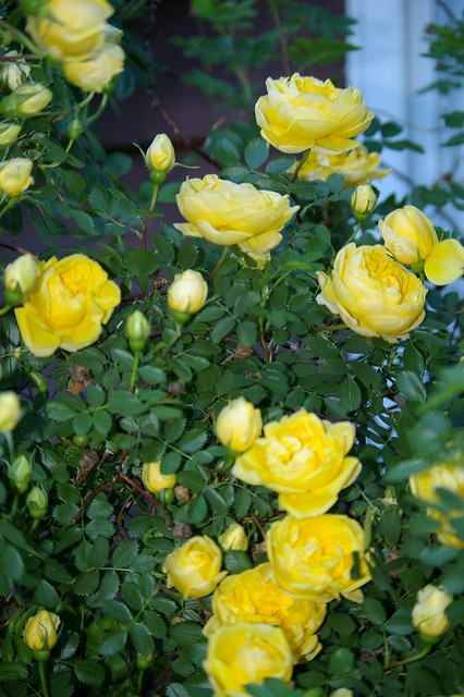 Yellow Rose bush -Calgary | Flickr - Photo Sharing!