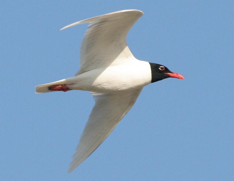 Фотография 'Черноголовая чайка'