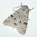 Small photo of [2280] The Miller (Acronicta leporina)
