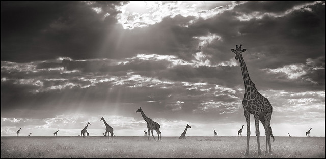 Giraffes In Evening Light, Maasai Mara, by Nick Brandt 2006
