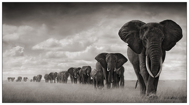 Elephants, Amboseli, by Nick Brandt 2008