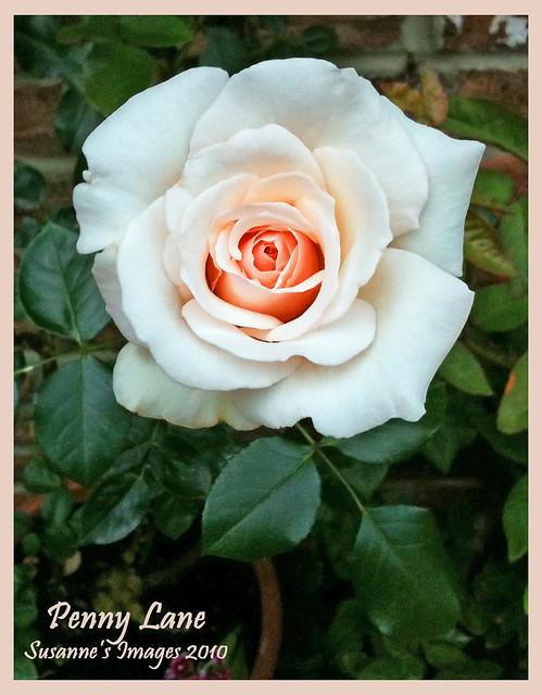 roses 20 a gallery on flickr. Black Bedroom Furniture Sets. Home Design Ideas