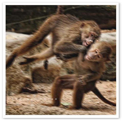 Singapore Zoo - Hamadryas Baboon