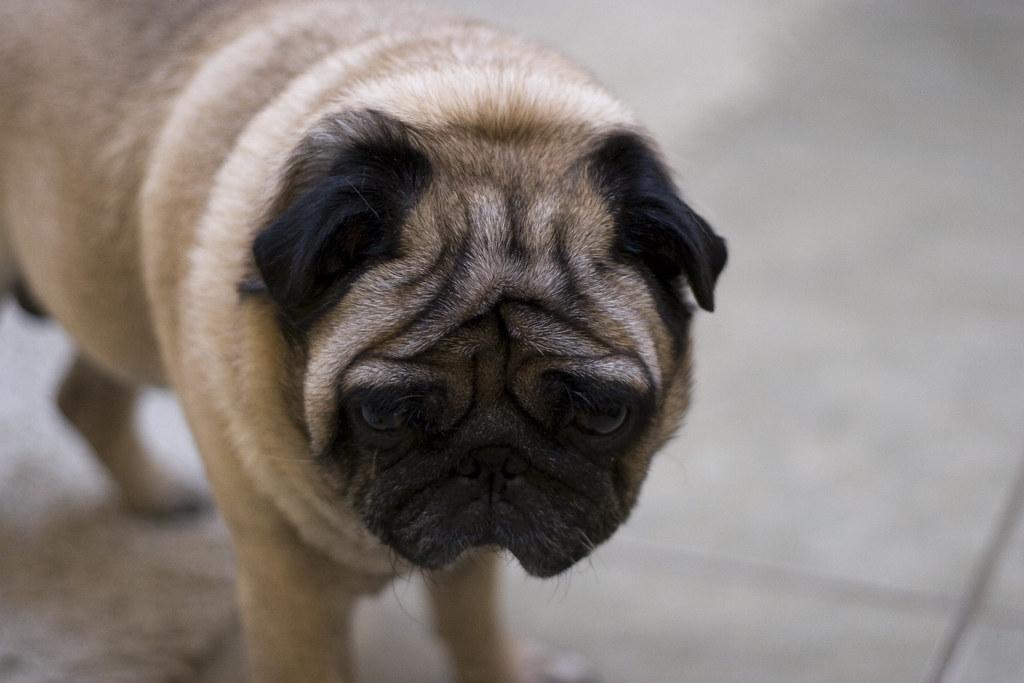 Thinking Pug