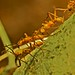 Army ants (Eciton sp-)1 by pbertner