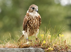 Mid Wales Falconry 2010