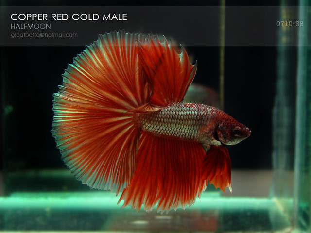 Halfmoon betta for sale lookup beforebuying for How much does a betta fish cost