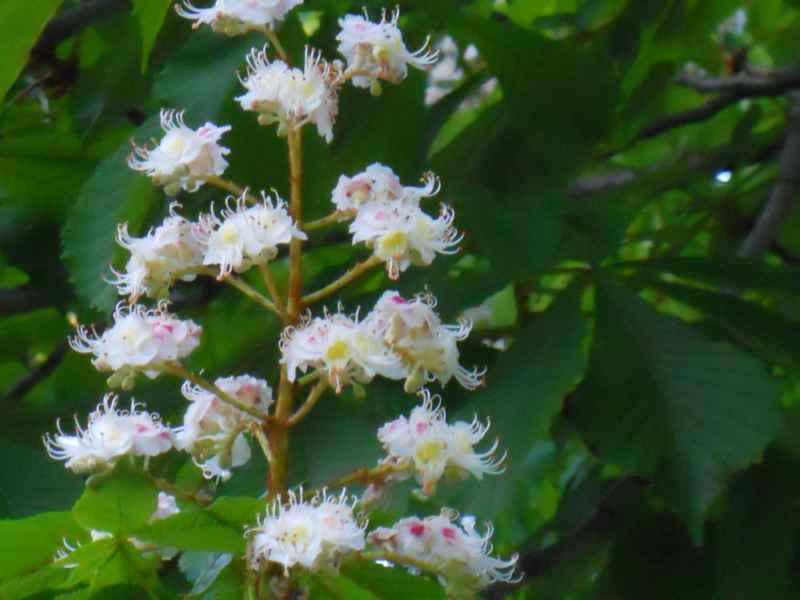 Aesculus hippocastanum flor 3