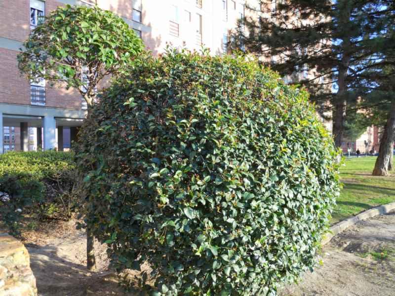 Ligustrum spp topiaria 2