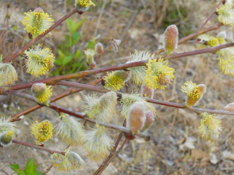 Jardineros en acci n salix repens for Planta decorativa toxica