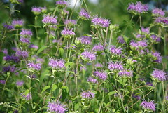 bee balm(0.0), produce(0.0), annual plant(1.0), flower(1.0), plant(1.0), breckland thyme(1.0), herb(1.0), wildflower(1.0), flora(1.0), meadow(1.0),