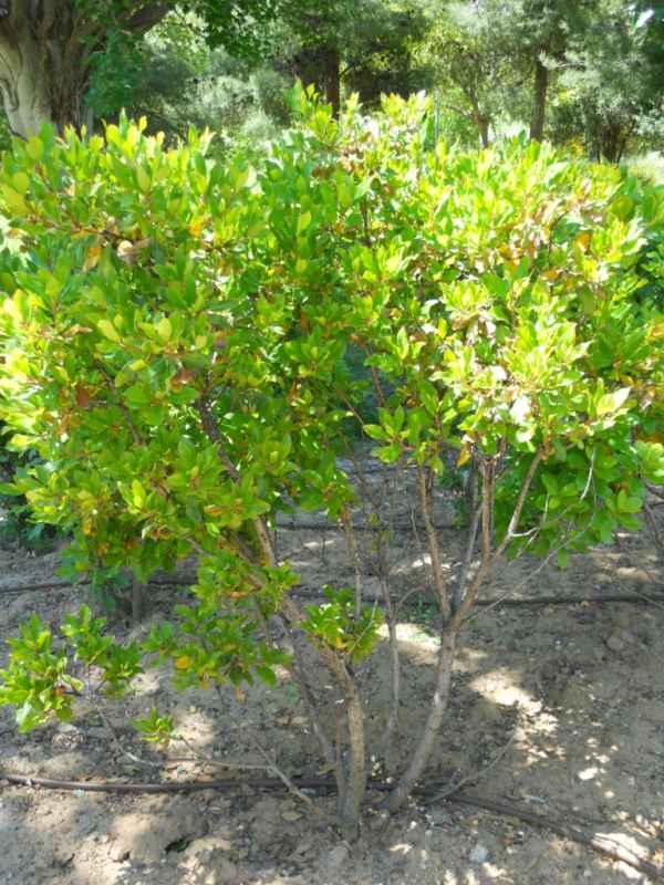 Arbustus unedo v 4