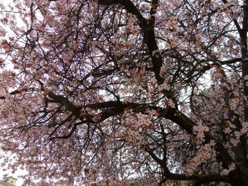 Prunus cerasifera 'Pissardii' 4