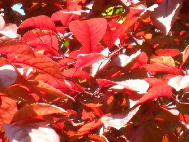 Prunus cerasifera 'Pissardii' hojas 3