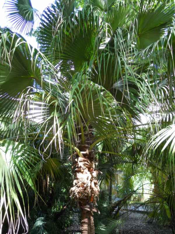 Livistona chinensis v 4