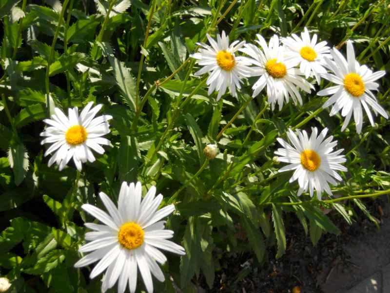 Chrysanthemum frutescens 3