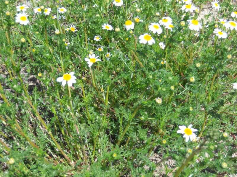 Chrysanthemum paludosum 1