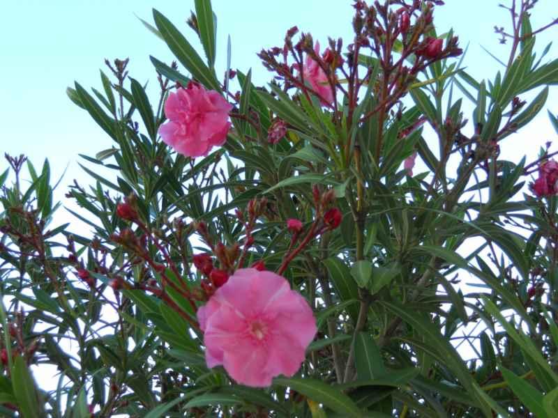 Nerium oleander 'Spendens Giganteum' flor 2