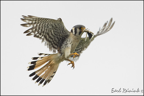 Falcon (Kestrel) - 0811