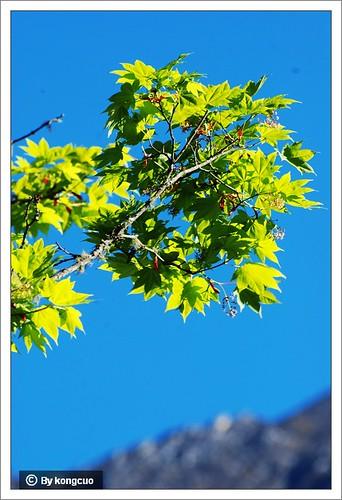 【图】槭树