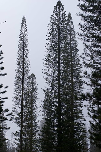 Cook Pine Trees