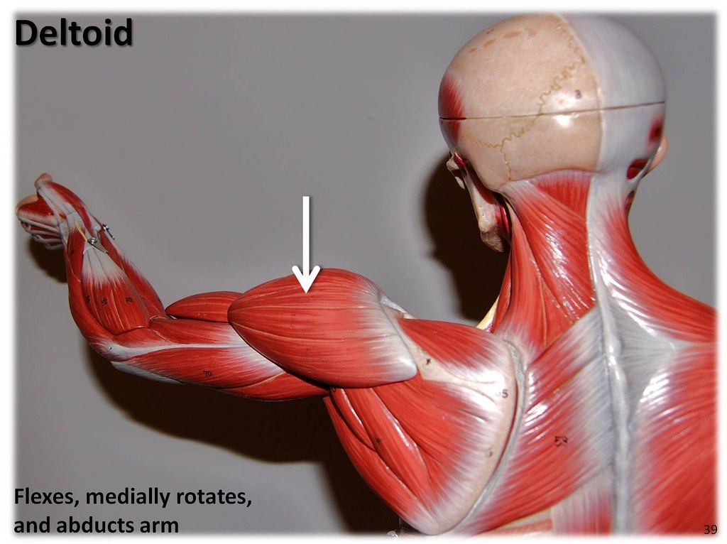 Deltoid - Muscles of the Upper Extremity Visual Atlas, page 39