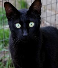 Melanistic Savannah Cat