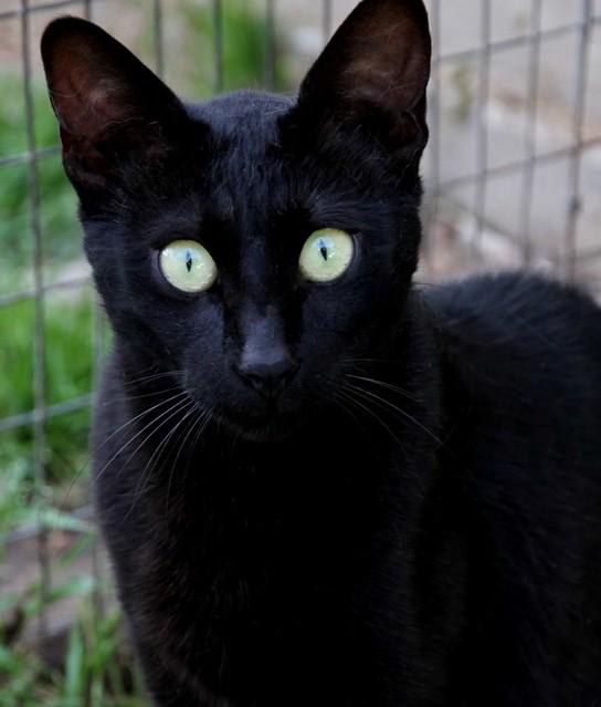 A Savannah Cat For Sale Uk
