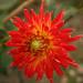 Dalhia cactus ©Marie Sophie Bock Digne
