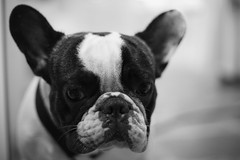 dog breed(1.0), animal(1.0), dog(1.0), white(1.0), pet(1.0), monochrome photography(1.0), french bulldog(1.0), boston terrier(1.0), monochrome(1.0), carnivoran(1.0), bulldog(1.0), black-and-white(1.0), black(1.0),