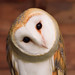 curious barn owl