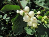 snowberries - Photo (c) Leonora Enking, some rights reserved (CC BY-SA)