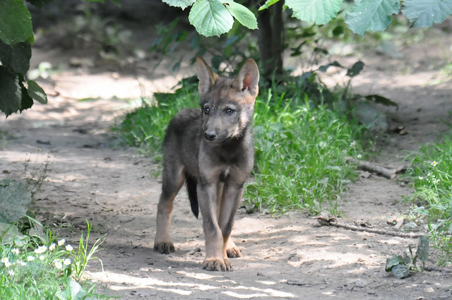Young Iberian Wolf