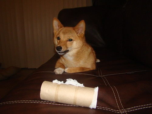 taro the shiba (@_tar0_) waiting to destroy the cardboard roll, #1