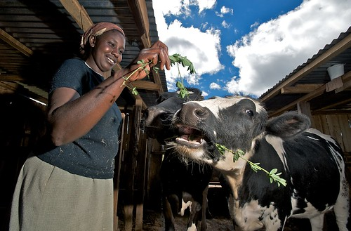 woman feeding cow