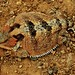 Phrynosoma hernandesi - Greater Short-horned Lizard by Jonathan Mays
