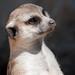 Meerkat by San Diego Shooter