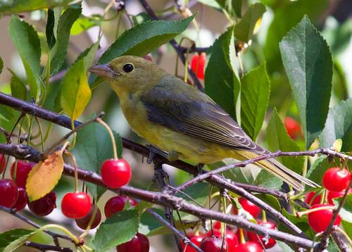 Laura 39 s birding blog august birding - Romanian cherry tree varieties ...