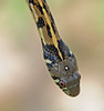 "<a href=""http://www.flickr.com/photos/jroldenettel/4941909548/"">Photo of Thamnophis marcianus by Jerry Oldenettel</a>"