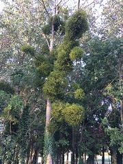 More mistletoe than you can shake a stick at..... - Photo of Castilly