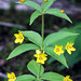 whorled loosestrife - Photo (c) Annkatrin Rose, some rights reserved (CC BY-NC-SA)