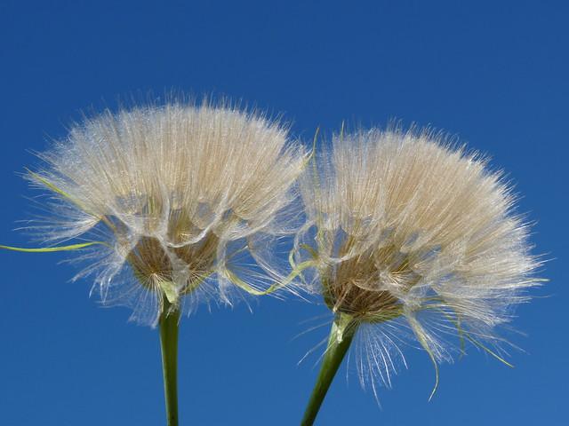 Seed of Tragopogon dubius  (Western Salsify)