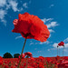 Sky Poppies by Al-fresco