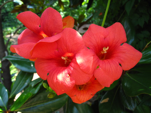Campsis radicans (trumpet vine) blooms along a trellis in the Discovery Garden. Photo by Rebecca Bullene.