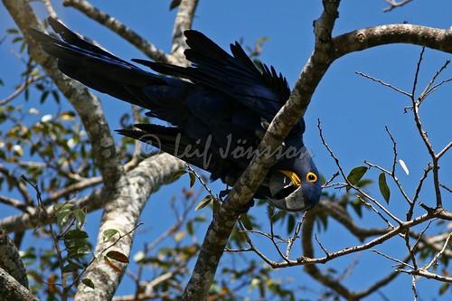 Hyacint Macaw