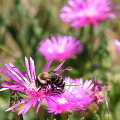 Ice Plants and Bee