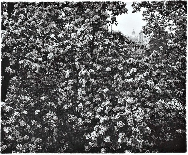 Spring in Strahov Garden (from the series, The Coming of Spring to Prague), by Josef Sudek 1963