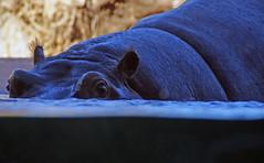 Hippopotamus eye