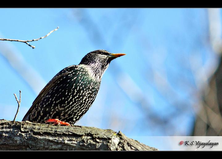 Starling, Australia